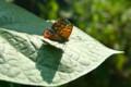ヒマワリの葉に止まり、体を温める「蝶」。(22.8.24)(7: