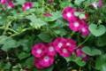雨に濡れて涼しげな「アルバアサガオ」の花。(22.9.13)