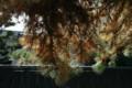 「ミツバマツ」の葉の世代交代。(22.11.2)