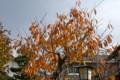 茶褐色に褪せた「サトザクラ(里桜)」の紅葉。(22.11.12)