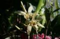 「セッコク(石斛)」の開花。(23.1.10)