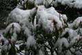 淡雪を被った「アメリカシャクナゲ・カルミア」。(23.2.9)