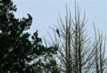 「イチョウ」の木に止まる「オナガ」。(23.2.28)