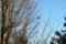 イチョウの木の梢から飛び立つ「ツグミ」(23.3.10)