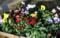 春花壇用の花の苗。(23.3.12)