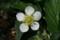 「イチゴ」の白い花。(23.4.21)