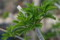 上杉鷹山ゆかりの「ヒメウコギ」の若葉。(23.4.21)