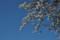見ごろの「ソメイヨシノ」の花。(23.4.24)