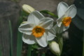 「ニリンソウ(二輪草)」の花。(23.5.1)
