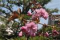 一気に咲き出した「サトザクラ(里桜)・関山」。(23.5.5)