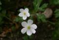 「ニリンソウ(二輪草)」の花。(23.5.10)
