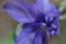 「オダマキ」花のつくり。(23.5.12)