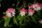 ツクシシャクナゲの咲き始め(23.5.13)