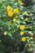 枝垂れて咲く「八重山吹」。(23.5.13)