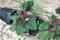 横に倒した「アカザ(藜)」の鉢。(23.5.13)