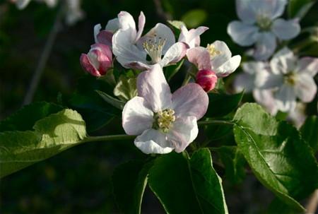 西日を受けて初々しい「りんごの花」。(23.5.13)