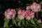 咲き始めた「ツクシシャクナゲ」(23.5.14)ゲ