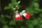 「チェリーセージ・ホットリップス」の花。(23.5.23)