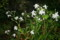 雨に濡れる「シャガ」の花。(23.5.23)