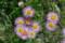 大土手に咲く、可憐な「ハルジオン」の花。(23.5.25)