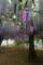 見ごろになった「円満寺の藤」。(23.5.25)