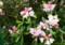 雨に濡れた「ヤクシマシャクナゲ(屋久島石楠花)」(23.5.27