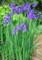 雨中に咲く、「カマヤマショウブ」の花。(23.5.30)