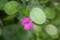 月に由来する「ルナリア」の花と実。(23.5.30)