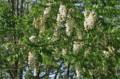 咲き始めた「ニセアカシア」の花。(23.5.30)