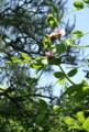 青空に映える「ツタンカーメンのエンドウ」の花。(23.5.31)