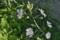 朝日を受けて咲く「ジャコウアオイ(麝香葵)」。(23.6.22)