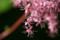 ピンクの「シモツケソウ(下野草)・京鹿の子」(23.6.22)