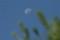 五月二十一日の月、赤松の緑と一緒に。(23.6.22)(5:53