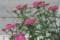 「セイヨウノコギリソウ」の花。(23.6)