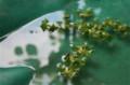 軽トラのシートの水たまりに落ちた「柿の実」。(23.6.25)
