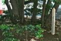 「たまくす」の大木。(横浜開港資料館庭)(23.7.10)