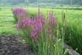 休耕田に、「ミソハギ(溝萩)」も咲いて。(23.8.13)
