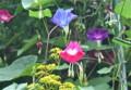 秋雨に濡れて咲く「アサガオ(朝顔)」の花。(23.8.20)