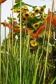 最盛期のヒマワリの花、防鳥網をかけたバケツ稲。(23.8.24)