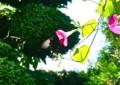 アサガオの花に「クロアゲハ(黒揚羽)」。(23.8.28)