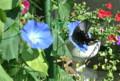 アサガオの花に「クロアゲハ(黒揚羽)」(23.8.28)