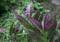 葉の裏が紫色の「金時草・ハンダマ)」(23.8.31)