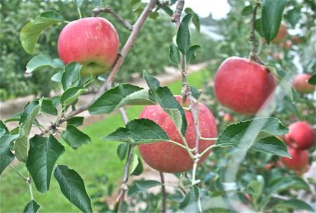 収穫直前の「つがる」りんご。(23.9.1)