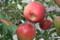 収穫間際の「つがる」りんご。(23.9.1)