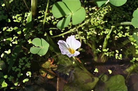 西日を受けて「ミズオオバコ(水車前草)」の花。(23.9.8))