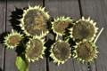 ヒマワリ(向日葵)の実の乾燥。(23.9.12)