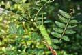 サンショウ(山椒)の葉に、アゲハの幼虫。(23.9.13)