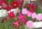 バラエティーに富む、「コスモス」の花。(23.9.15)