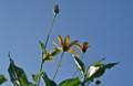 青空に映えて咲く「キクイモ(菊芋)」の花。(23.9.19)