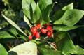 赤い実と緑の葉、「サンシュユ(山茱萸)」(23.10.26)